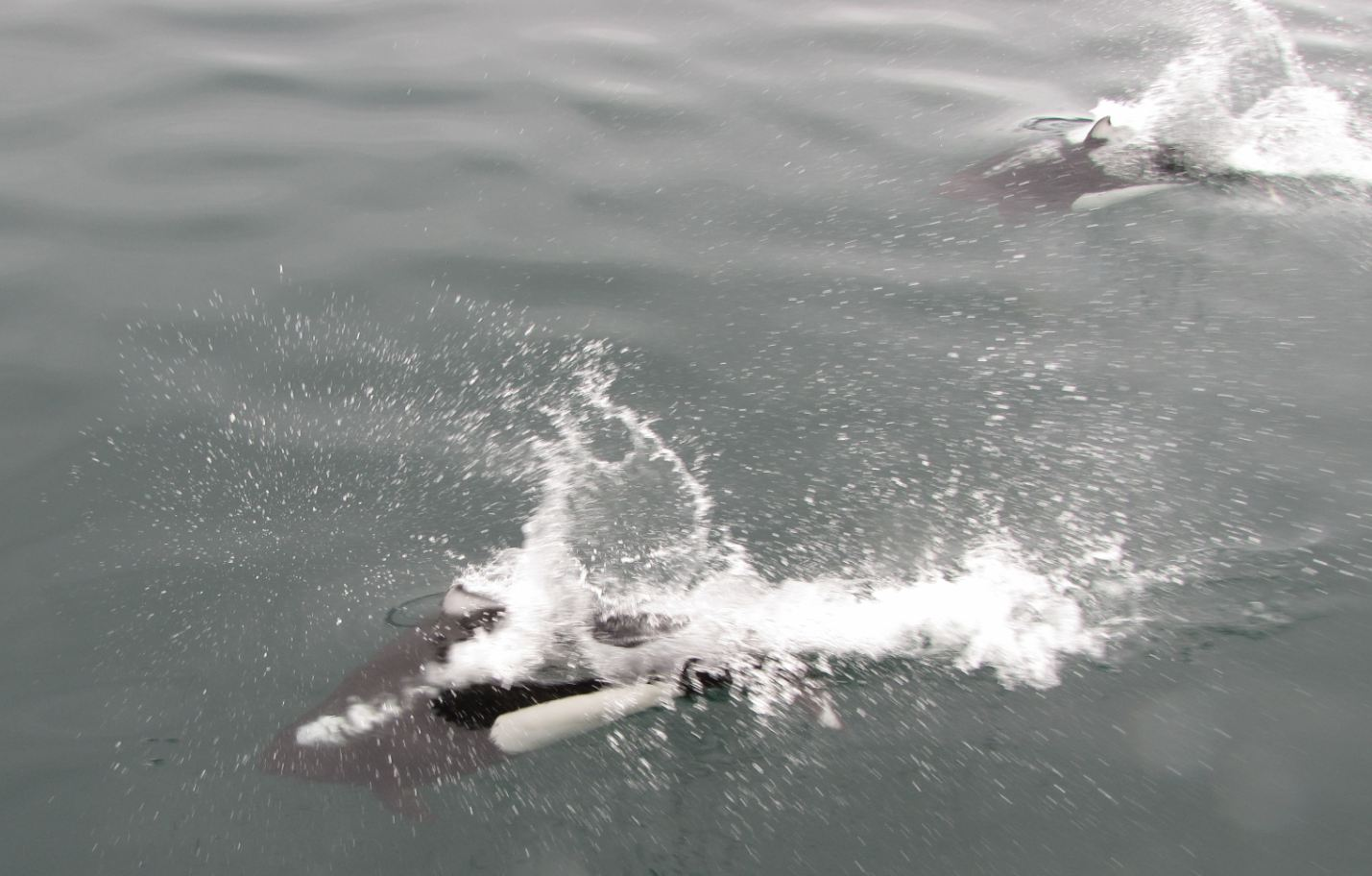 Dall porpoises - Resurrection Bay