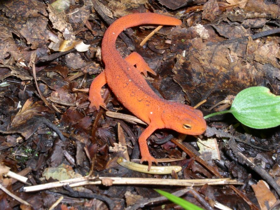 Red Eft high on Bear Den trail