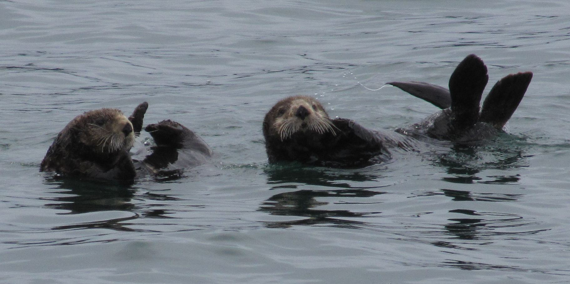 Resurrection Bay sea otters